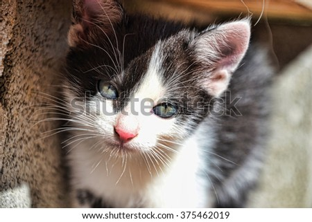 Black and white kitten. Curious kitten in garden, Small predator, Little pussycat stay on the sidewalk and possing for camera - stock photo
