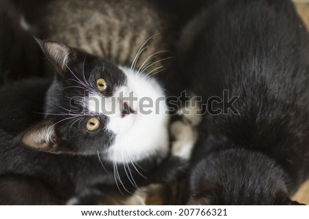 Black and white kitten looking up. - stock photo