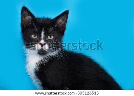 Black and white kitten sitting on blue background