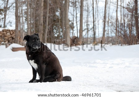 Black and white Labrador Retriever , very overweight, sitting outside in the winter. - stock photo