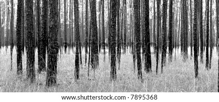 Black and white landscape of forest. - stock photo