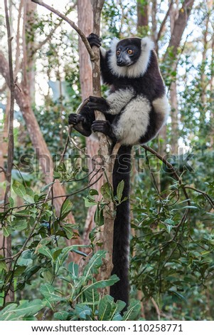 Black and white lemur Vari  (ruffed lemur) in the forest of Madagascar - stock photo
