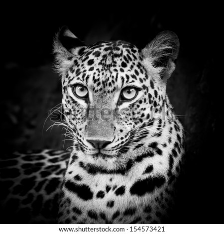 Black and White Leopard Portrait - stock photo