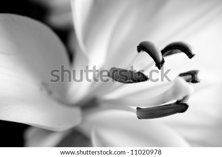 black and white lily - stock photo