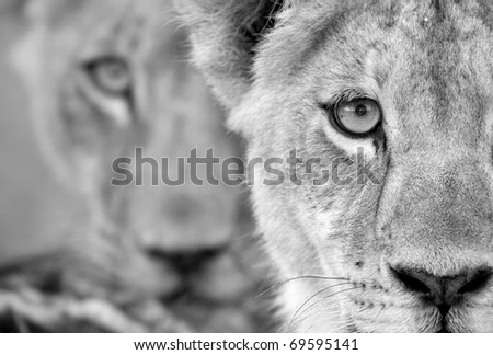 Black and white lion cub duo - stock photo