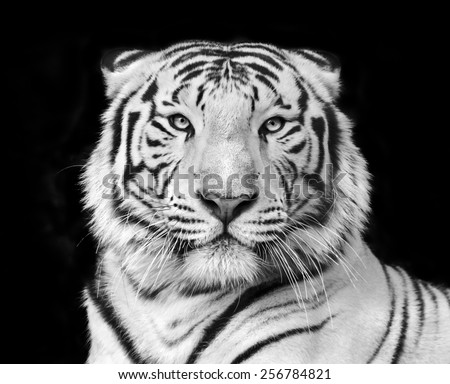 Black and white macro face portrait of white bengal tiger. The most dangerous beast shows his calm greatness. Wild beauty of a severe big cat.  - stock photo
