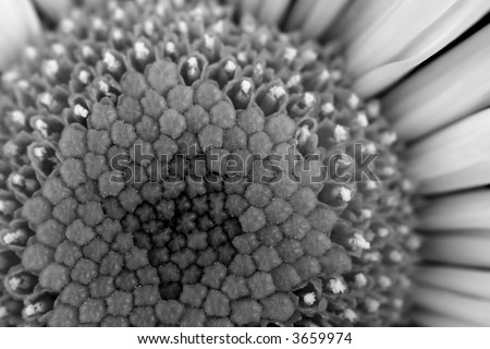 Black and white macro photo of a yellow daisy