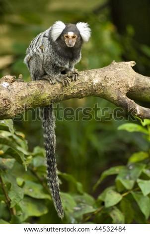 Black and white Marmoset monkey on a branch - stock photo