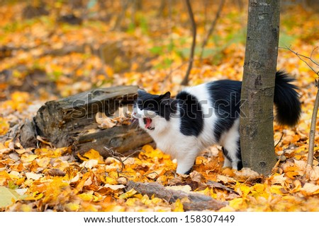 Black and white meowing cat walking in the wood in the fall