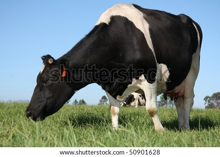 Black and white milk cows in a pasture with lush green grass - stock photo