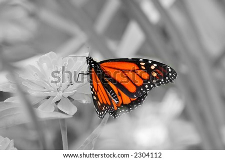 Black and white monarch - stock photo