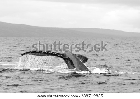 Black and white of a whale preparing to dive at close distance in the Maui Channel.  - stock photo