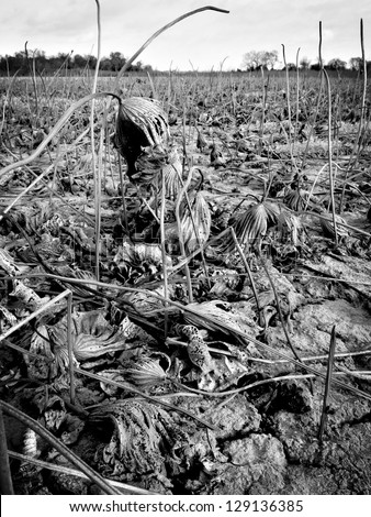 Black and white of lily pads killed by drought. - stock photo