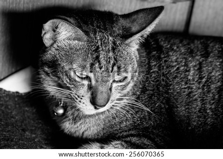 Black and white or monochrome cat portrait