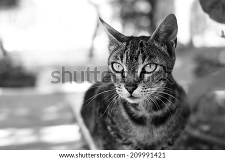 Black and white or monochrome outdoor cat portrait. Shallow DOF - stock photo