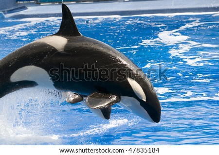 Black and white orca killer whale swimming - stock photo