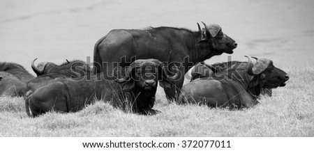 Black and White Panorama featuring Cape Buffalo in Serengeti Tanzania - stock photo