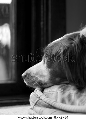Black and white photo of a Brittany Spaniel dog staring out of a window. - stock photo