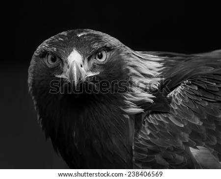 black and white photo of a golden eagle in captivity in a zoo - stock photo