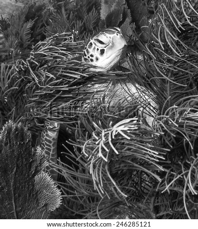 Black and white photo of a Hawksbill sea turtle hiding among the corals on Molasses Reef in Key Largo, Florida. - stock photo