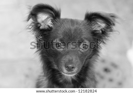 Black and white photo of a long haired chihuahua puppy - stock photo