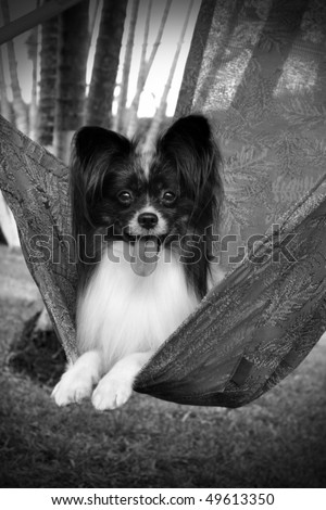 Black and White Photo of a Purebred Papillon Dog Relaxing In A Swing - stock photo