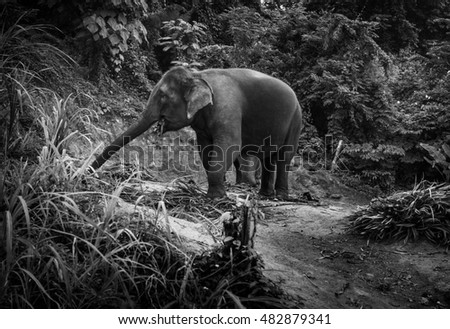 Black and white photo of an elephant eating palm leaves on a hill