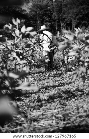 Black and white photo of fig plantation and worker in hat.