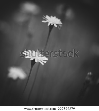 Black and white photo of flowers - stock photo