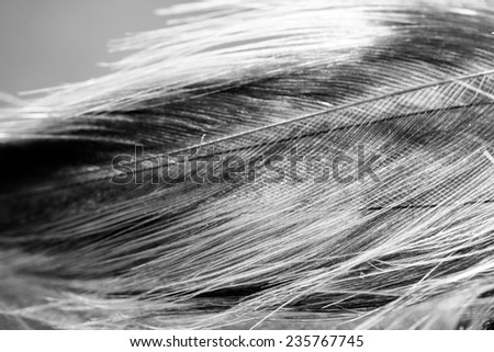 Black and white photo of rooster feather with details and reflexions