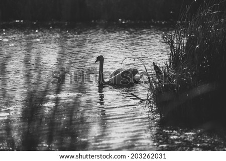 Black and white photo of swan swimming on lake - stock photo