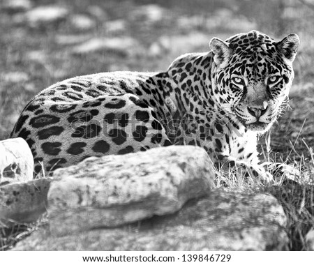 Black-and-white photo portrait of a leopard. - stock photo