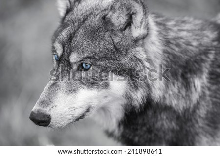 Black and white photograph of North American Gray Wolf, Canis Lupus, with blue eyes - stock photo