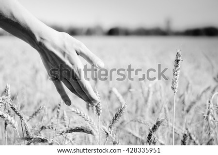 Black and white photography close up picture on hand with wheat on sunny day outdoors background - stock photo