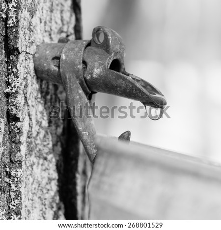 Black and white picture of maple sap dripping into bucket - Macro - Shallow depth of field - stock photo