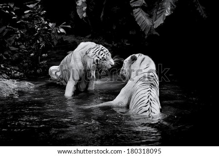 Black and white picture of two White Tigers - stock photo