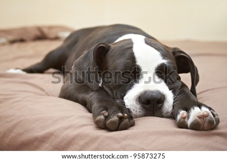 Black and white Pit Bull puppy asleep on soft bed
