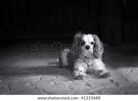 Black and white portrait of a Cavalier King Charles spaniel on old stone floor with copy space - stock photo