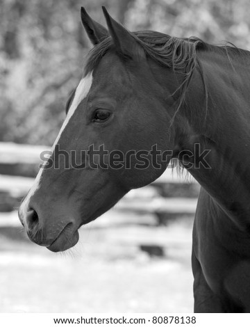 black and white portrait of a horse - stock photo