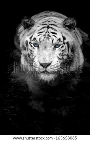 Black and white portrait of a White Tiger