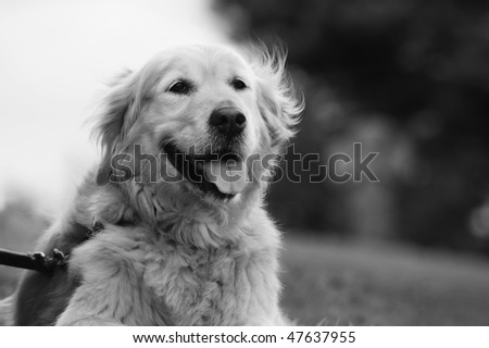 Black and White Portrait Of Golden Retriever - stock photo