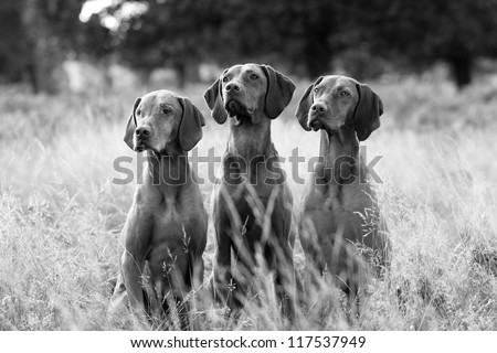 Black and white portrait of Hungarian Vizsla dogs sitting in long fall grass - stock photo