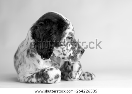 Black and white portrait of puppy of english setter. White background - stock photo