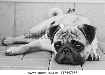 Black and white portrait of sad purebred pug dog lying on blocks outdoors and looking somewhere with depression in his eyes - stock photo