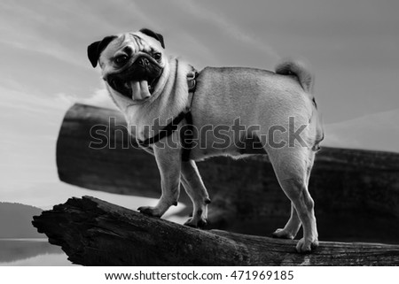 black and white portrait of small pug dog in nature near lake