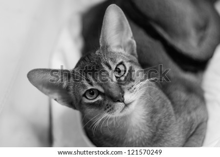 Black and white portrait of young Abyssinian cat. - stock photo