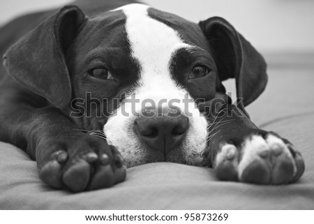 Black and white portrait of young Pit Bull puppy - stock photo