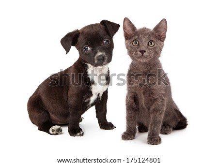 Black and white puppy and a gray kitten sitting together. Both animals are eight weeks old.  - stock photo