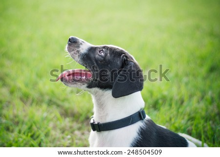 Black and white puppy Black and white puppy standing outside in the grass - stock photo