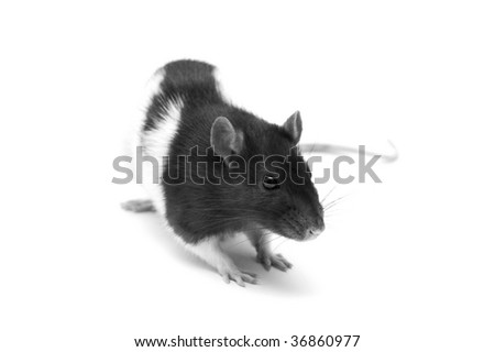 Black and white rat isolated on a white background